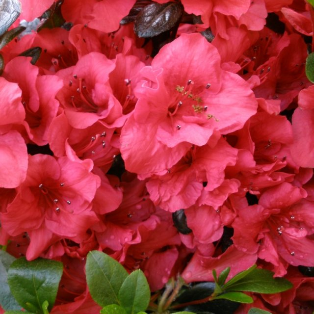 Evergreen Azalea Johanna  AGM