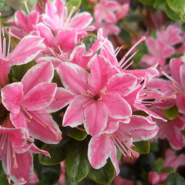 Evergreen Azalea Kermesina Rose AGM