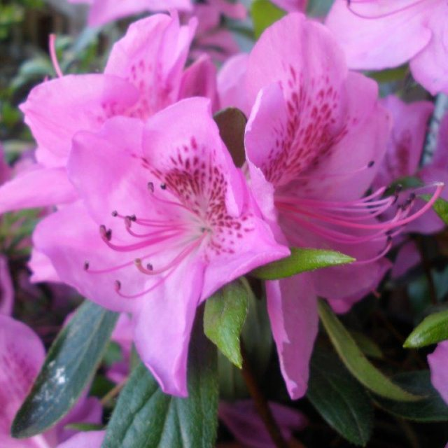Evergreen Azalea Megan
