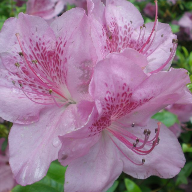 Evergreen Azalea Merlin