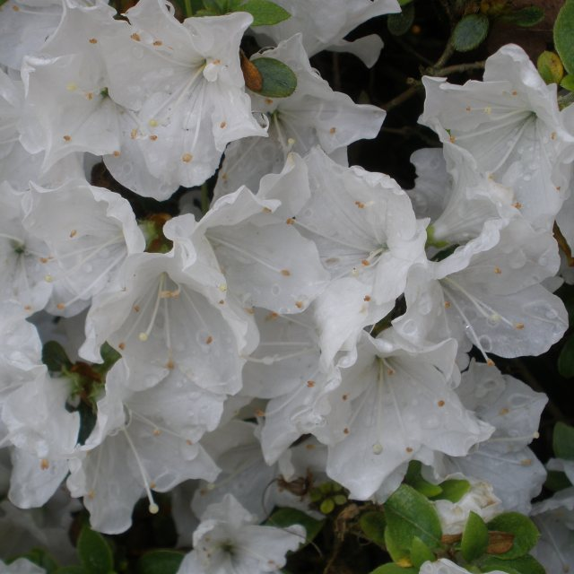 Evergreen Azalea Panda  AGM