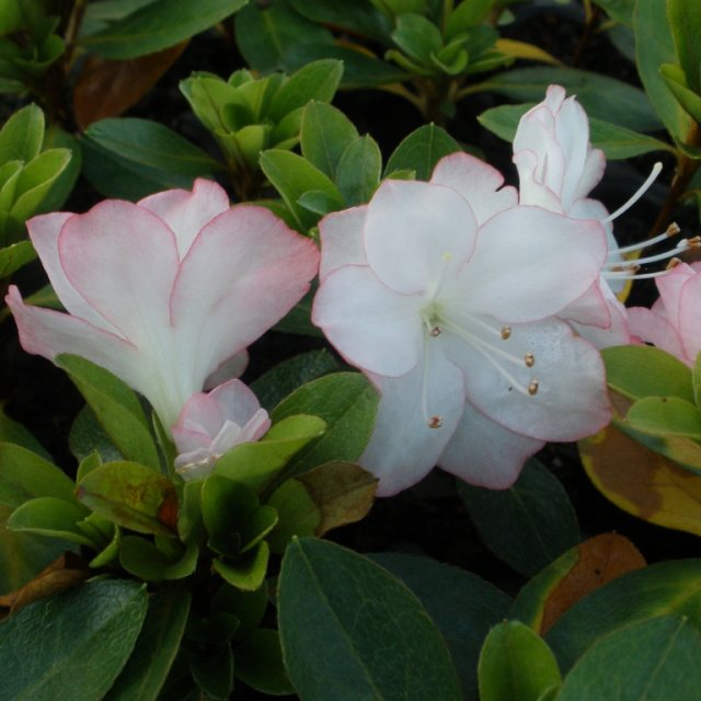 Evergreen Azalea Peggy Ann