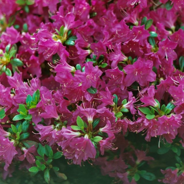 Evergreen Azalea Purpurtraum  AGM