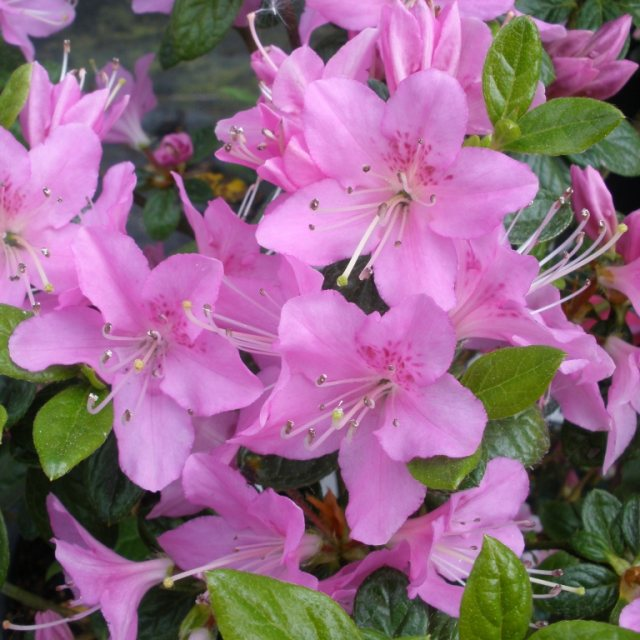 Evergreen Azalea Tit Willow