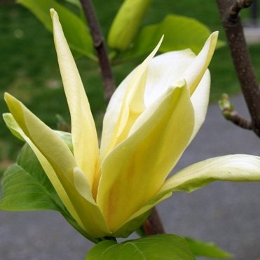 Magnolia Gold Crown