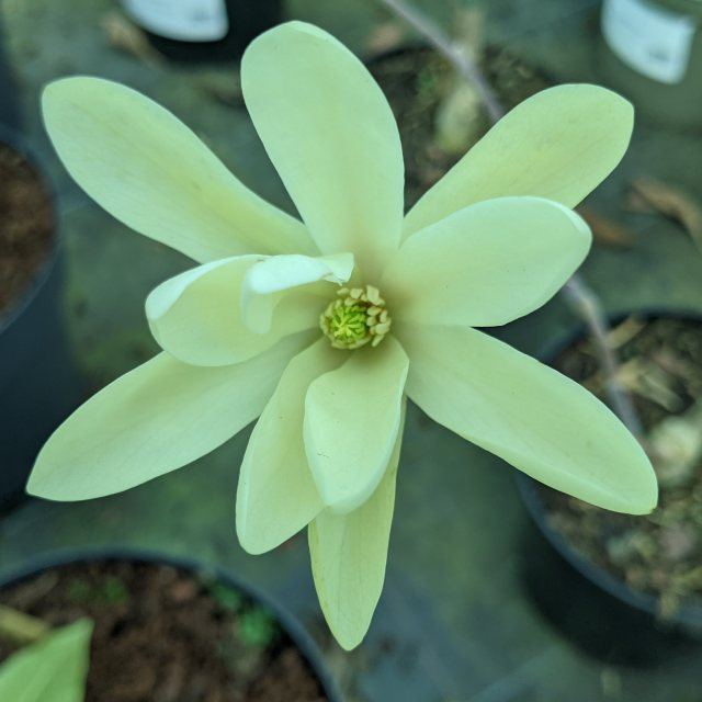 Magnolia Gold Star  AGM
