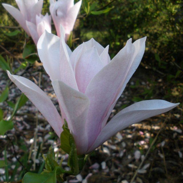 Heaven Scent Magnolias Buy Magnolia Heaven Scent Online