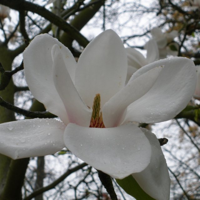 Magnolia Milky Way  AGM