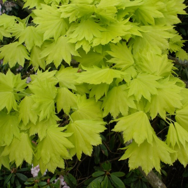 Acer Shirasawanum Aureum Buy Shirasawanum Aureum Japanese Maples