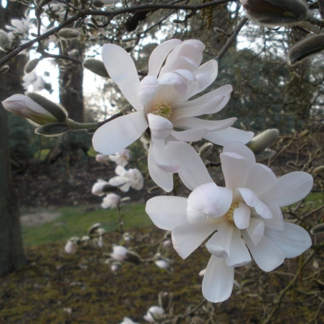 Buy Magnolia Stellata Waterlily Agm Magnolia Stellata Waterlily