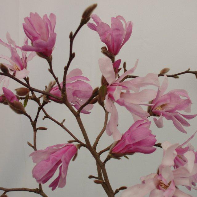 Leonard Messel Magnolias Buy Magnolia X Loebneri Leonard Messel