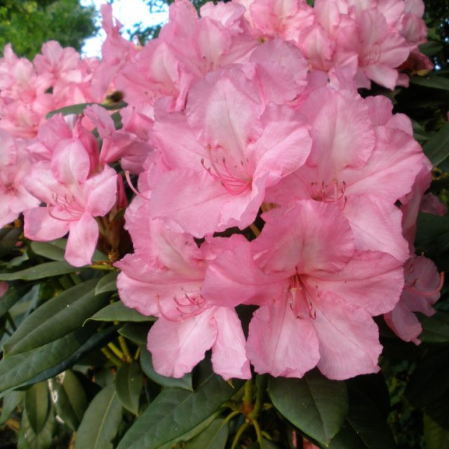 Rhododendron Alice  AGM