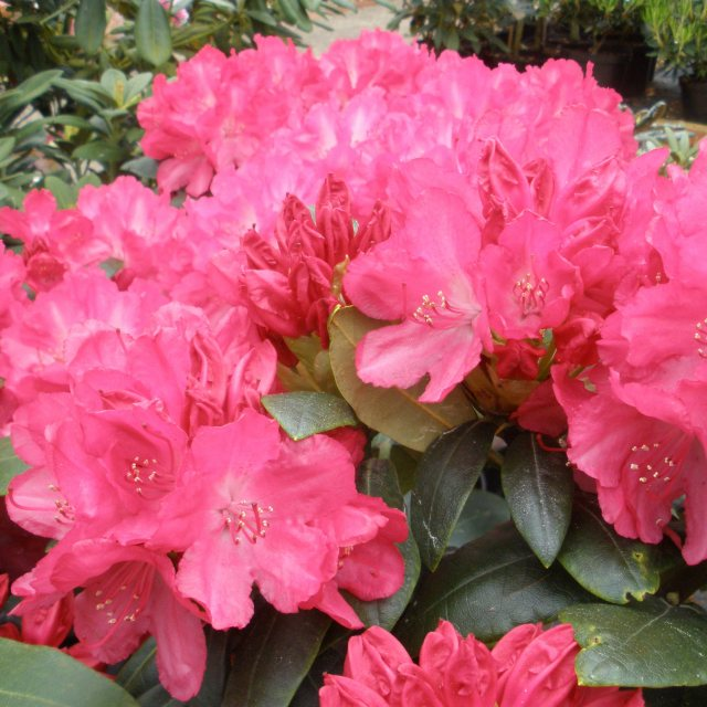 Rhododendron Astrid