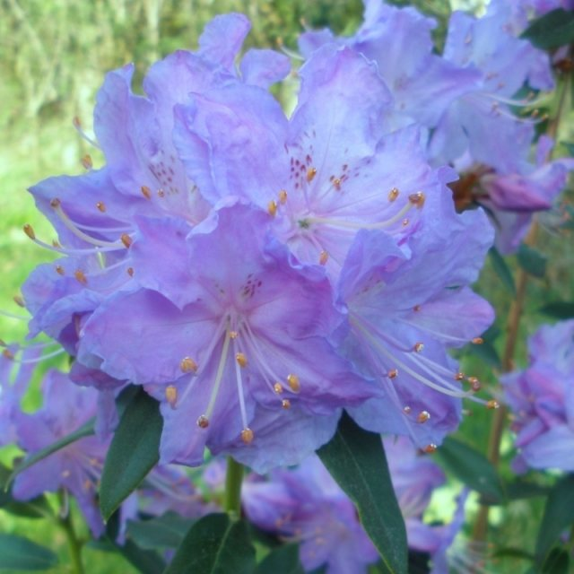Rhododendron augustinii 'Electra'  AGM