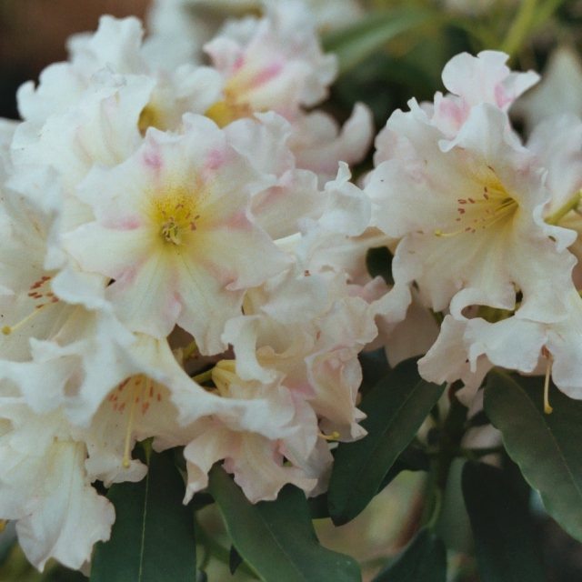 Rhododendron Award