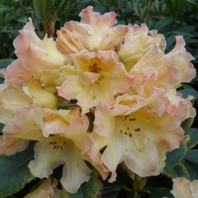 Rhododendron Butter Brickle