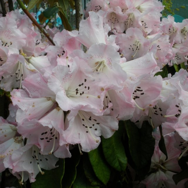 Rhododendron coeloneuron EGM 334