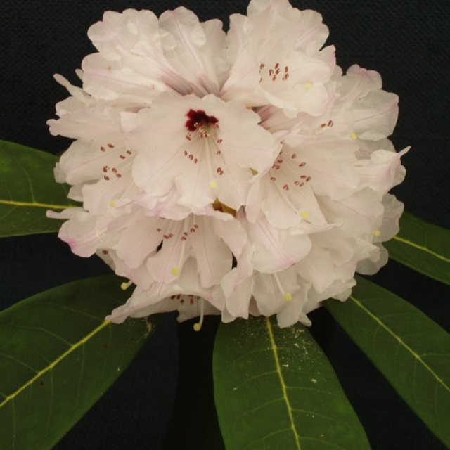 Rhododendron coriaceum