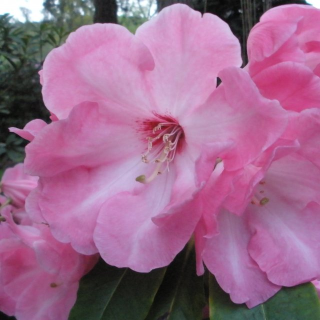 Rhododendron Coronation Day