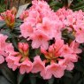 Rhododendron Fairy Light