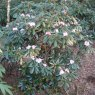 Rhododendron fulvum  AGM