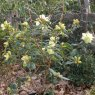 Rhododendron lutescens 'Bagshot Sands'  AGM