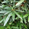 Rhododendron makinoi  AGM (best narrow leaf)