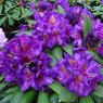 Rhododendron Marcel Menard AGM