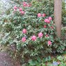 Rhododendron President Roosevelt