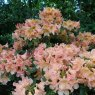 Rhododendron Terracotta