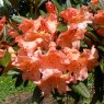 Rhododendron Tortoiseshell Orange  AGM