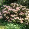 Rhododendron Vanessa Pastel  AGM