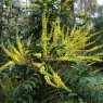 Mahonia media Arthur Menzies