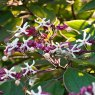 Clerodendrum trichotomum fargesii  AGM