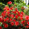 Evergreen Azalea Bloom Champion Red