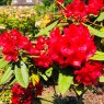 Rhododendron Gwilt King