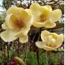 Magnolia Honey Tulip - Large Specimen