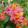 Deciduous Azalea Fruit Salad