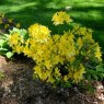 Deciduous Azalea Lemon Lights