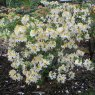 Deciduous Azalea Northern Hi Lights