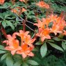 Deciduous Azalea prunifolium 'August Fire'