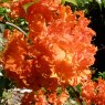 Deciduous Azalea Royal Command