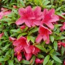 Evergreen Azalea Alexander  AGM