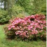 Evergreen Azalea Chippewa