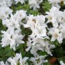 Evergreen Azalea kiusianum  'Album'  AGM