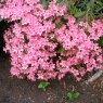 Evergreen Azalea Madame van Hecke