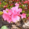 Evergreen Azalea nakaharae Mount Seven Star AGM