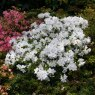 Evergreen Azalea Rose Greeley AGM