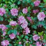 Evergreen Azalea Rosinetta