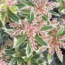 Pieris Flaming Silver  AGM